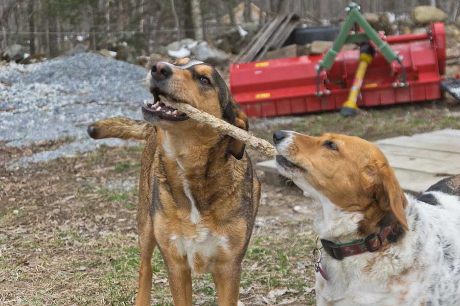 Echo and Callie playing with a stick